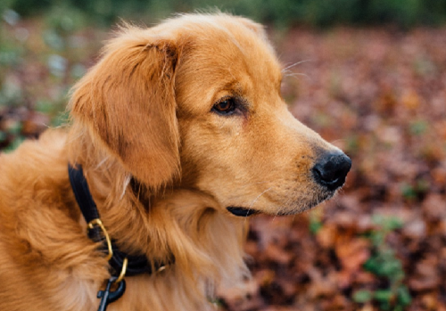 Golden Retriever https://pxhere.com/es/photo/116068